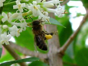 abeille_pollen_6x4