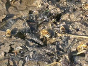 abreuvoir_abeilles_1