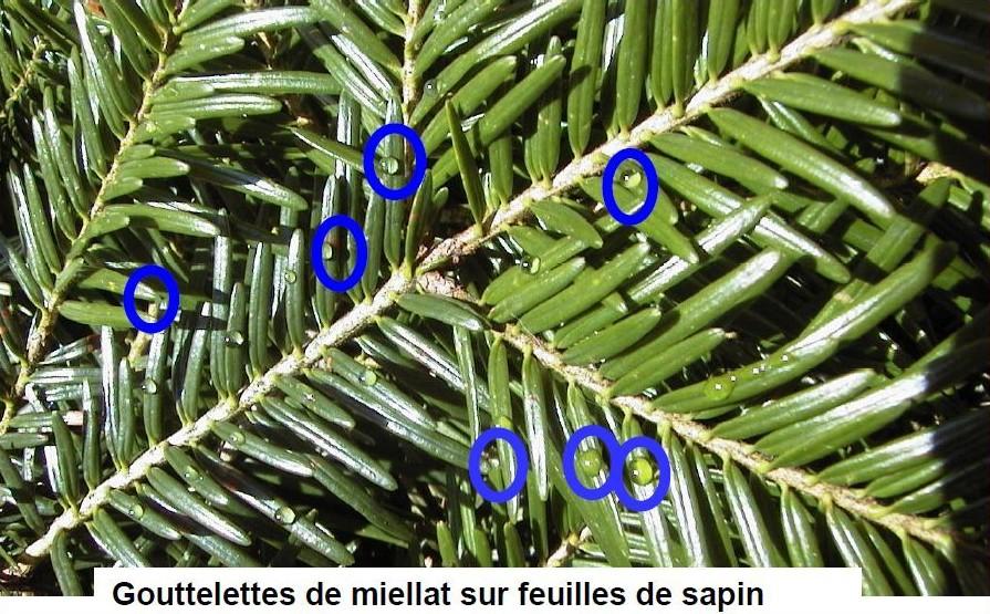 gouttelettes_miellat_sur_sapin