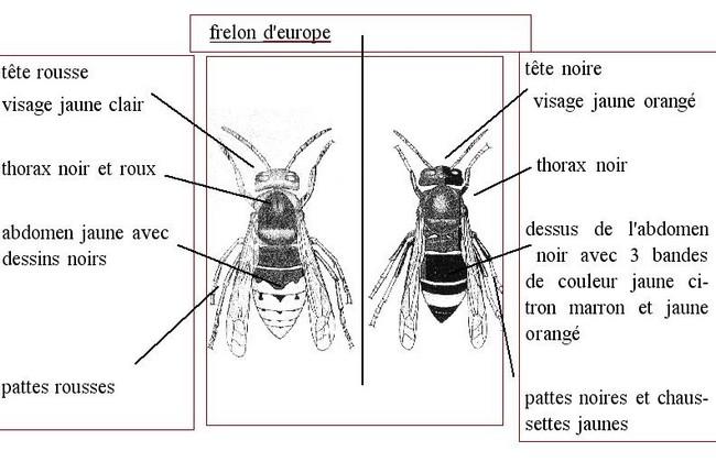 frelons_description