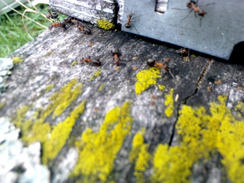 attaque_fourmis_avril_2012_01