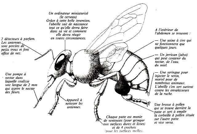 biologie_abeille_a1