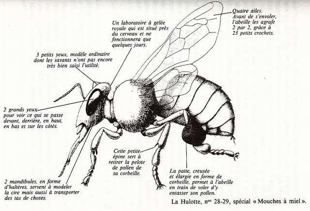 biologie_abeille_a2